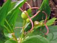 Médéole de virginie : 7- Jeune fruits