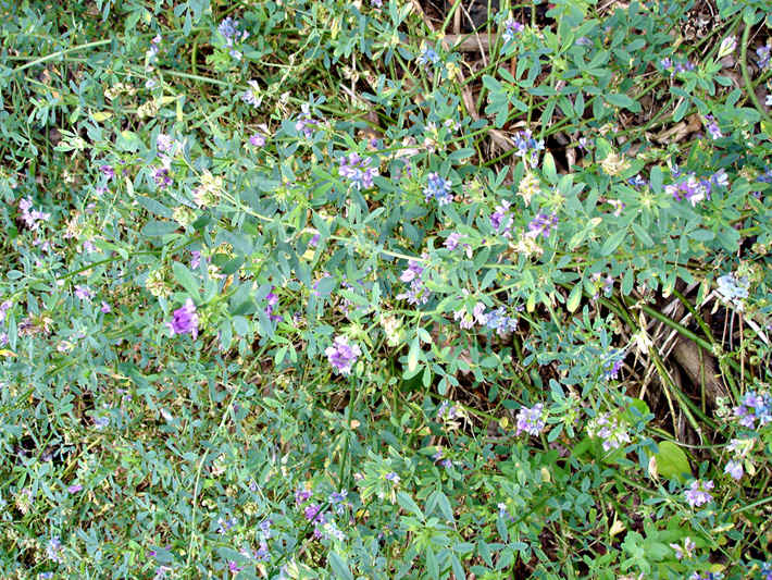 Alfalfa (Medicago sativa) : Flowering plants