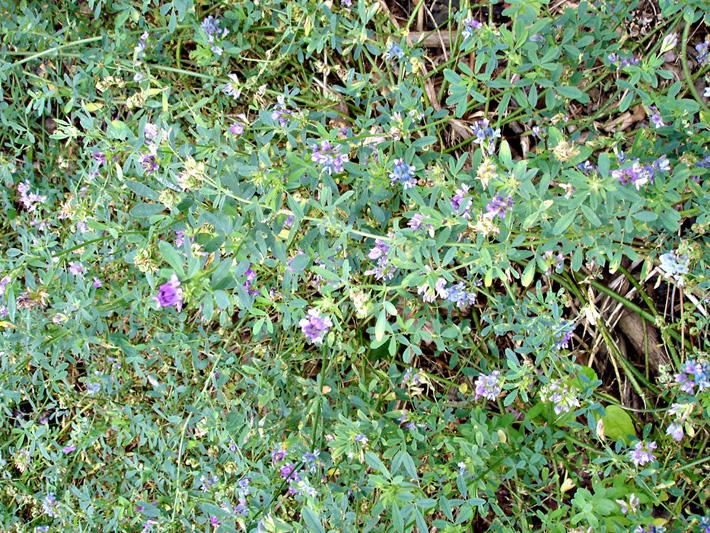 Luzerne cultivee (Medicago sativa) Plantes en fleurs