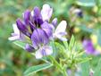 Alfalfa : 2- Inflorescence