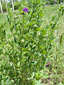 Alfalfa : 6- Flowering plants