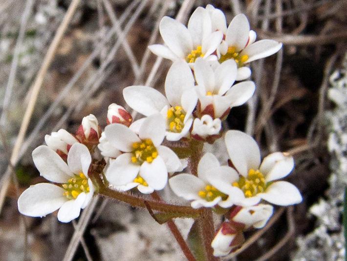 Saxifrage de virginie (Micranthes virginiensis) Fleurs et boutons