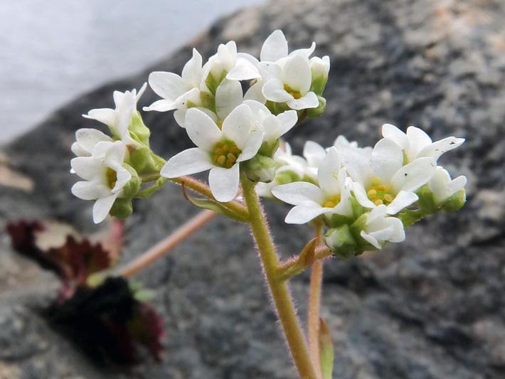Saxifrage de virginie (Micranthes virginiensis) Inflorescence