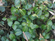 Partridgeberry : 2- Leaves