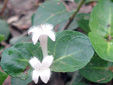 Partridgeberry : 4- Flowering plant