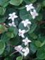 Pain-de-perdrix : 6- Plantes en fleurs