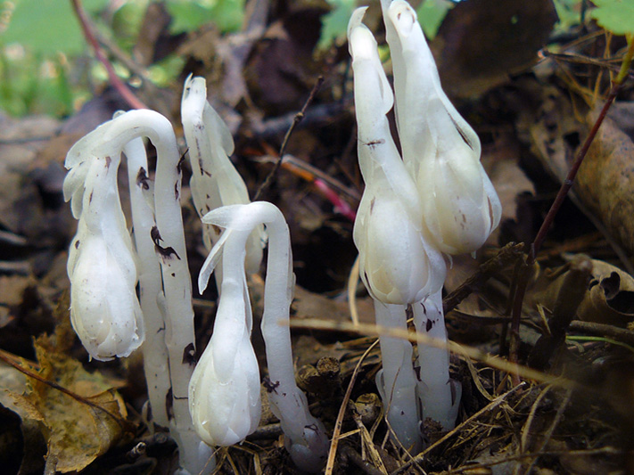 Idian pipe (Monotropa uniflora) : Emerging plants