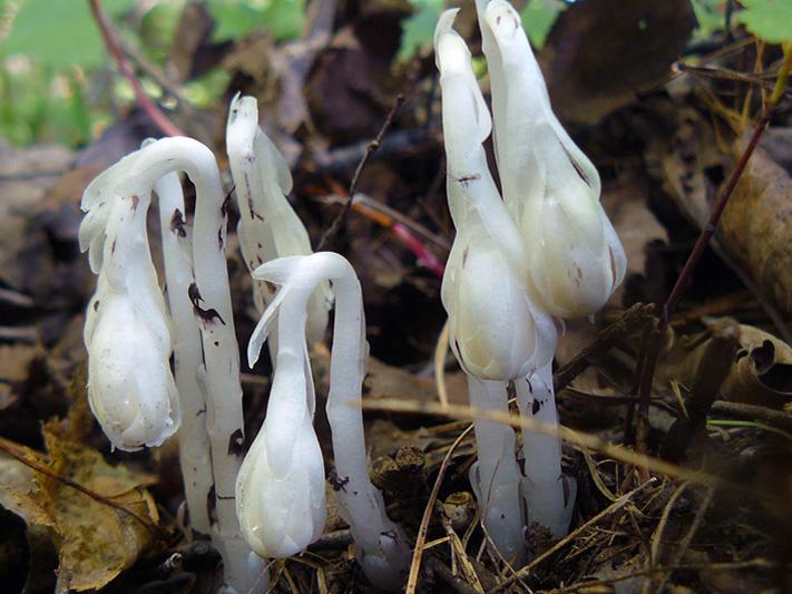 Monotrope uniflore (Monotropa uniflora) Plantes émergentes