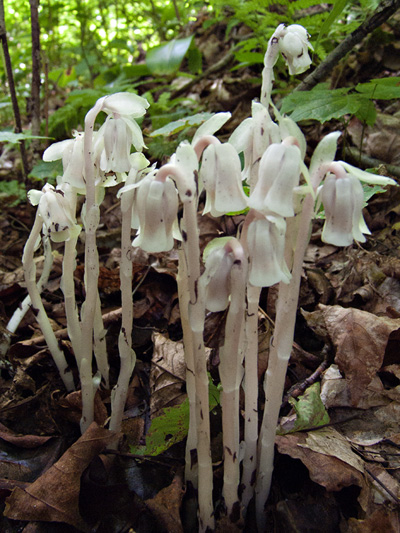 Idian pipe (Monotropa uniflora) : Plants slightly pink