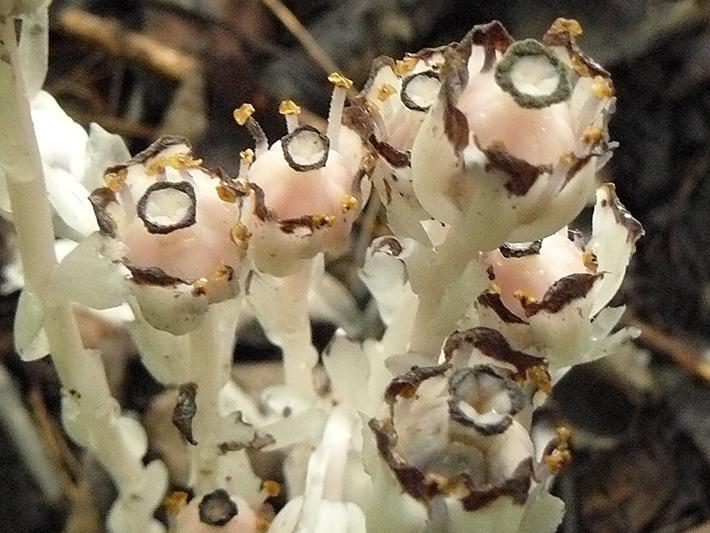 Monotrope uniflore (Monotropa uniflora) Fleurs après pollinisation