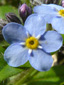 Small Forget-me-not : 1- Flower