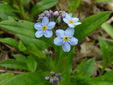 Small Forget-me-not : 2- Flowering plants