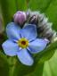 Small Forget-me-not : 3- Flower and buds