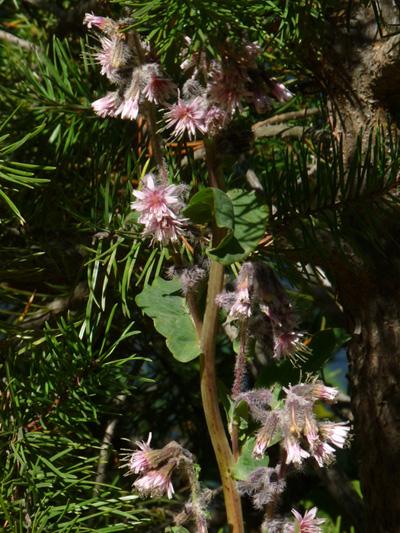 Prenanthe a grappe (Nabalus racemosus) Plante en fleurs
