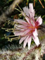 Glaucous rattlesnakeroot : 1- Flower