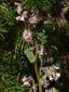 Glaucous rattlesnakeroot : 2- Flowering plant