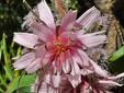 Glaucous rattlesnakeroot : 3- Flower