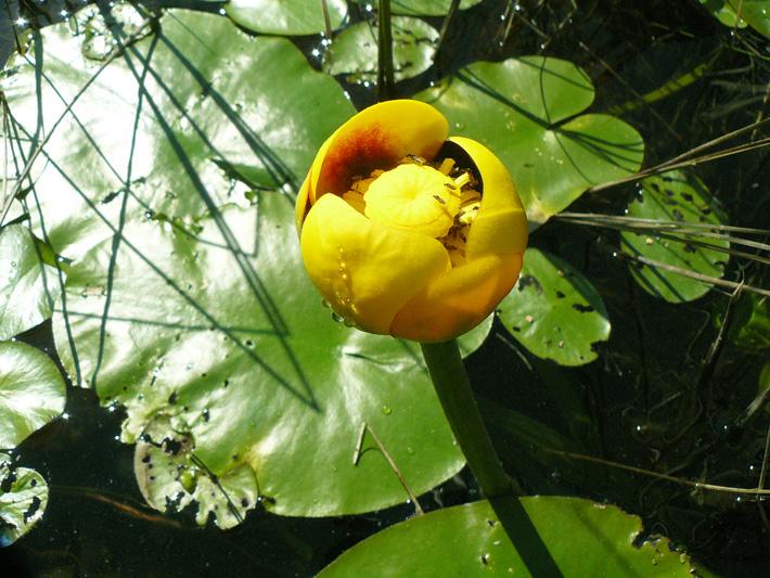 Petit nenuphar jaune (Nuphar microphylla) Plante en fleur