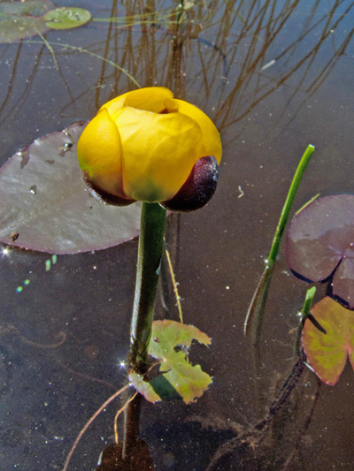 Petit nenuphar jaune (Nuphar microphylla) Fleur