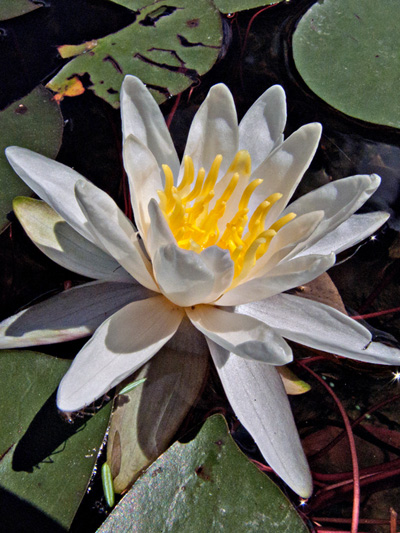 Fragrant water-lily (Nymphaea odorata)