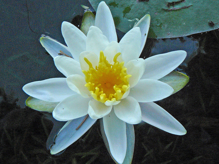 Fragrant water-lily (Nymphaea odorata) : Flower