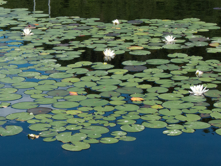 Fragrant water-lily (Nymphaea odorata) : Colony