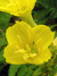 Small-flowered Evening Primrose : 1- Flowers