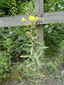 Small-flowered Evening Primrose : 2- Flowering plant