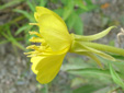 Small-flowered Evening Primrose : 4- Flower