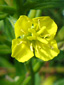 Small-flowered Evening Primrose : 5- Flower