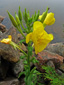 Small-flowered Evening Primrose : 6- Inflorrescence