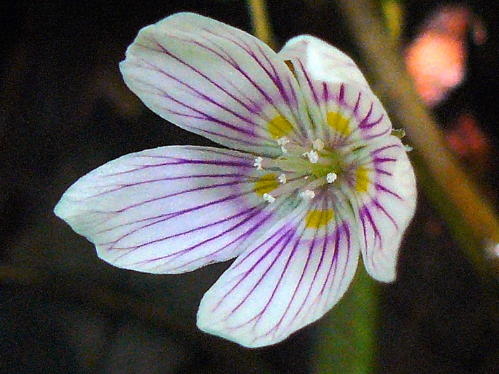 Common wood-sorrel (Oxalis montana) : Flower