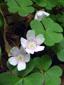 Oxalide des bois : 1- Plantes en fleurs
