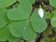 Common wood-sorrel : 2- Close flower and leaf