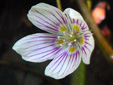 Common wood-sorrel : 4- Flower