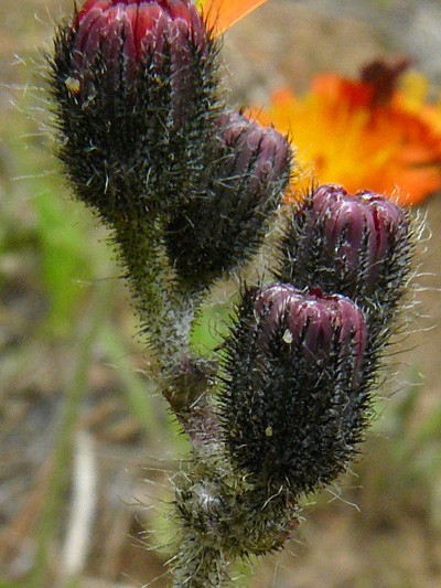 Orange Hawkweed (Pilosella aurantiaca) : Before fructification