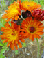 Orange Hawkweed : 1- Inflorescence