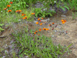 Orange Hawkweed : 5- Colony