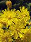 Épervière des prés : 1- Fleurs