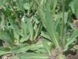 Épervière des prés : 3- Feuilles basales