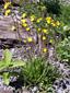 Épervière des prés : 4- Plantes en fleurs