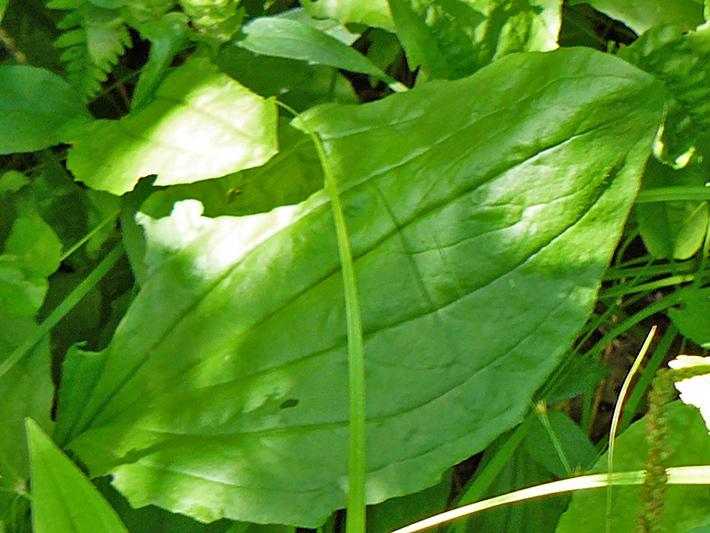 Plantain majeur (Plantago major) Feuille