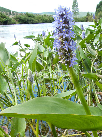Pickerelweed (Pontederia cordata) : Flowering plant