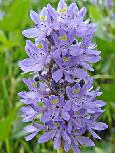 Pontederie cordee (Pontederia cordata) Inflorescence
