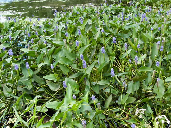 Pickerelweed (Pontederia cordata) : Colony