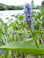 Pickerelweed : 1- Flowering plant