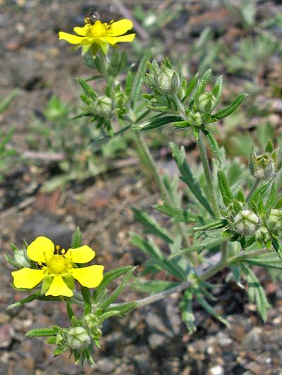 Silvery cinquefoil (Potentilla argentea) : Flowering plant