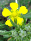 Silvery cinquefoil : 1- Flower and buds