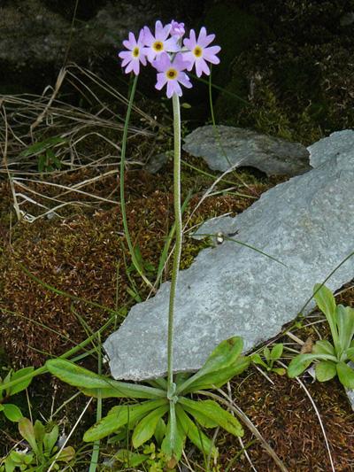 Primevere laurentienne (Primula laurentiana) Plante en fleurs