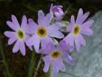 Laurentian primrose : 2- Inflorescence